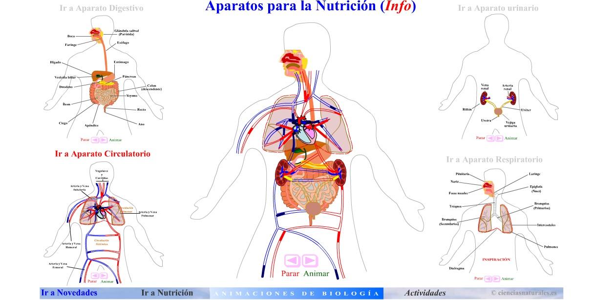 Sistemas y aparatos del cuerpo humano para niños Imagui