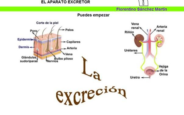 aparato excretor florentino