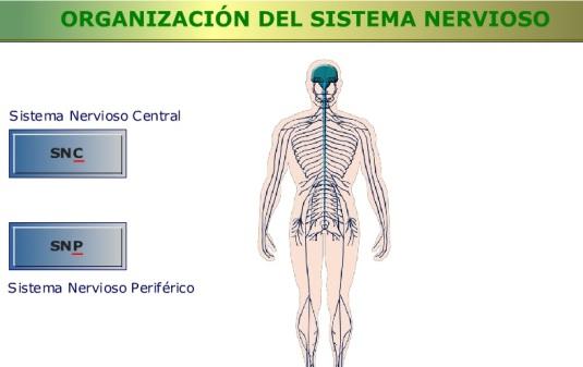 sistemanerviosocentralyperiferico